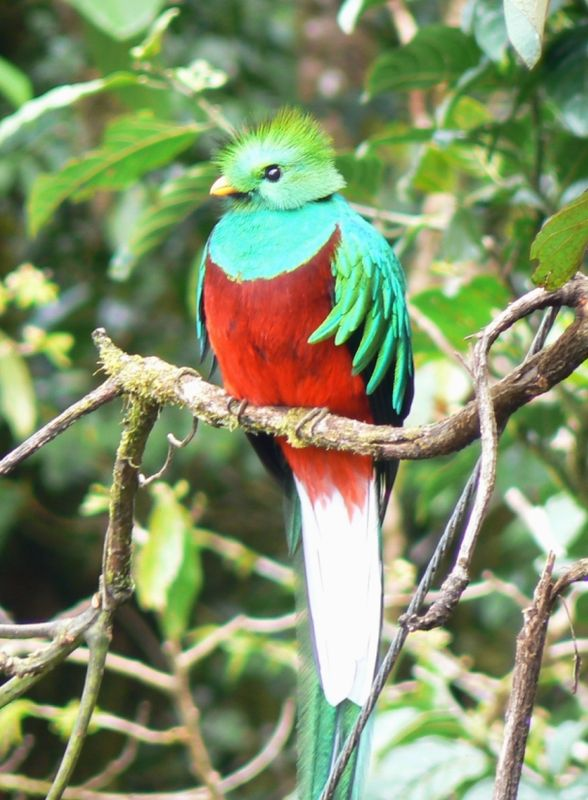 588px-Quetzal01.jpg